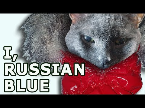 Russian Blue Breed Origin: Myths Dissolved. History of Russian Blue Cat Breed.