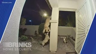Video shows pack of coyotes snatching a cat in Surprise