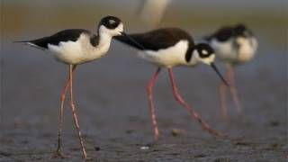 Through the Lens: Black-necked Stilt