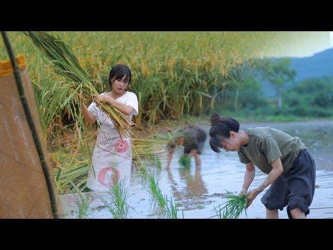 月儿圆圆,稻米飘香,正逢农家收谷忙Full Moon, Fragrance of Ripe Rice, Farmers Busy Harvesting Crops | Liziqi Channel