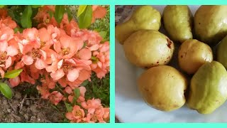 Айва Японская Плоды/Японская Айва полезные свойства./Северный лимон!