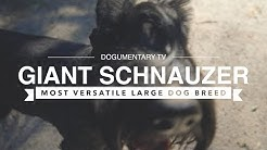 ALL ABOUT GIANT SCHNAUZERS: THE MOST VERSATILE LARGE BREED