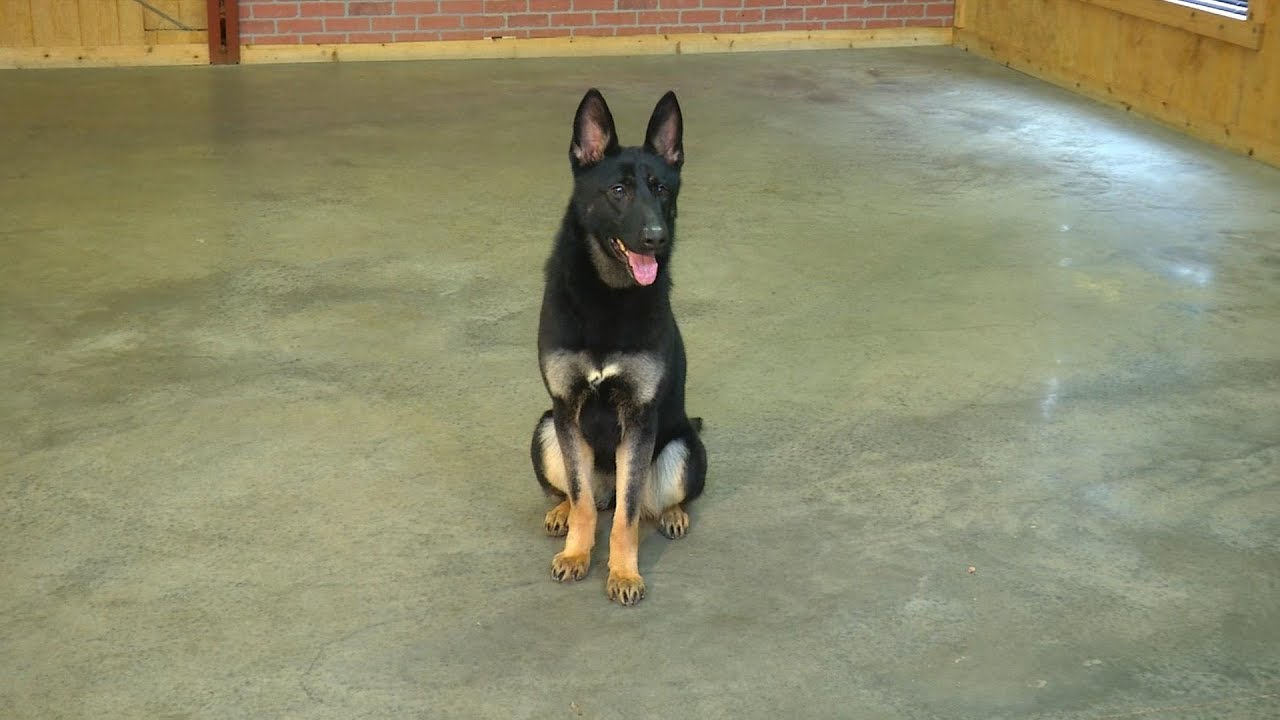 Gorgeous 1 Year Old Female