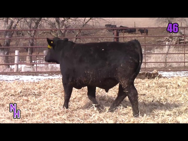 New Haven Angus Lot 46