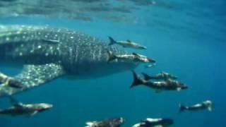 Whale Sharks of Grayton Beach