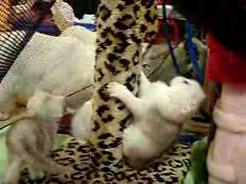 Aaralyn Longhair Burmilla Kittens 6 weeks