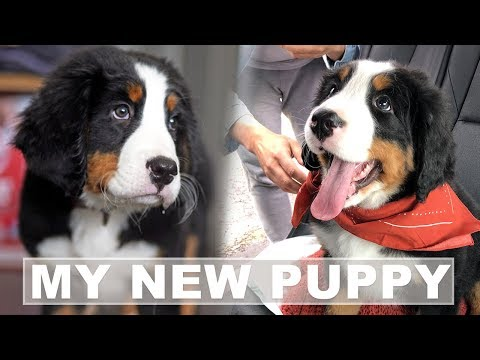 Bernese Mountain Dog Puppies - Bringing Home A New Puppy