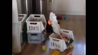 bardağa bağıran papağan komik