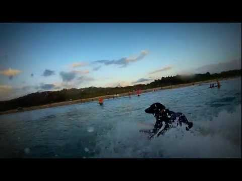 Surfing dog, Nosara