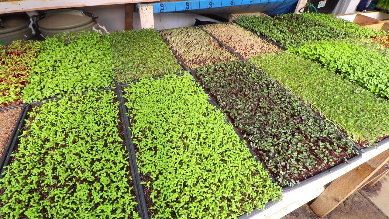 Microgreen Trials and Tribulations - YouTube