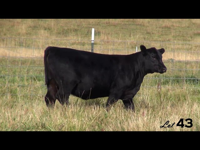 Pine Coulee Angus Lot 43