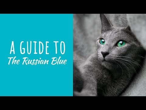A Guide To The Russian Blue Cat