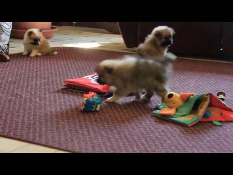 Pomeranian Puppies For Sale Ruth King