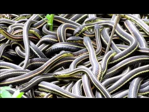 NatureNorth.com's Snakes Alive Video