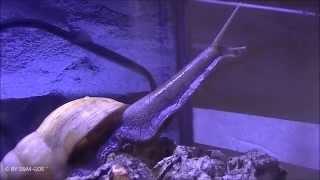 Achatschnecke (Achatina fulica rodatzi)