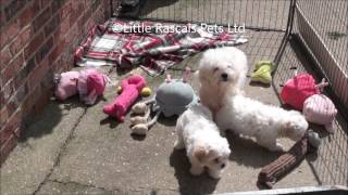 Little Rascals Uk Breeders New Litter Of Cavachon Puppies