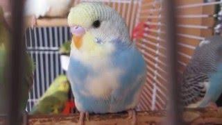 Волнистый попугай Цвета Неба