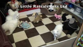 Little Rascals Uk Breeders New Litter Of Japanese Spitz