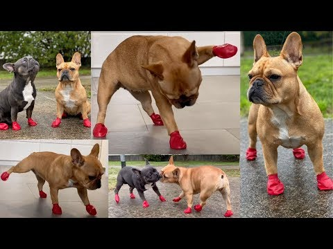 Funny Frenchies Try On Dog Shoes