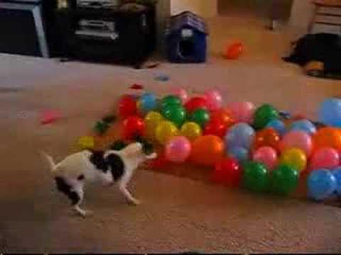 DOG POPPING BALLONS :D