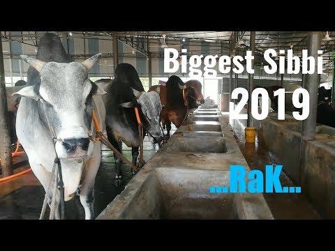 Bengal Cattle Farm 2019 Collection || Big Sibbi || Big Cows - Goru pagol
