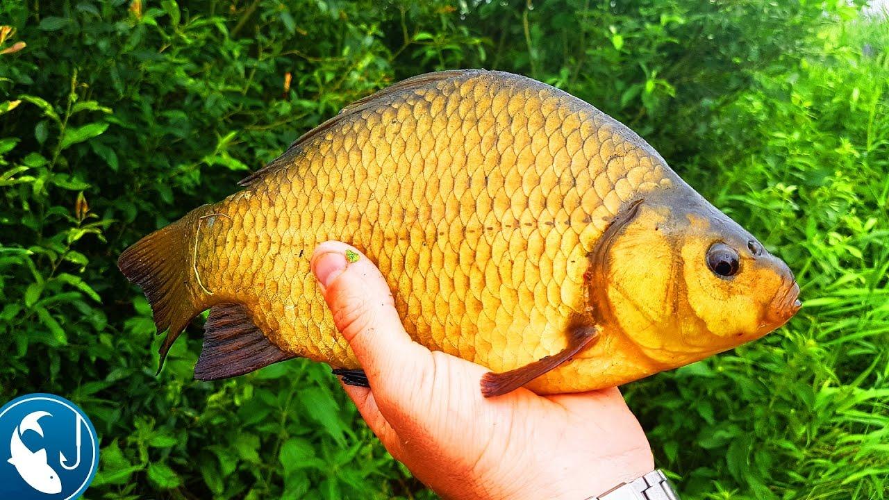 русская рыбалка карась золотой