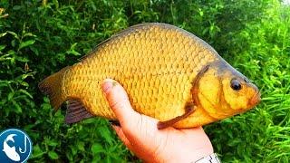 Ловля карася летом в пруду на #фидер. Золотой карась. Готовим на природе. | Рыбалка с Родионом