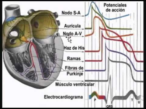 Fisiologia cardiovascular - YouTube