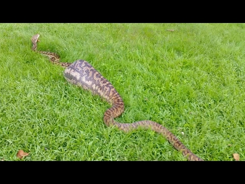 Thumbnail: Snake Catchers Find 16ft Snake Digesting A Wallaby