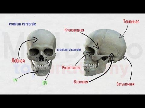 Как устроен череп