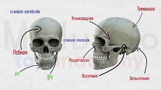Череп #1: Лобная и клиновидная кости