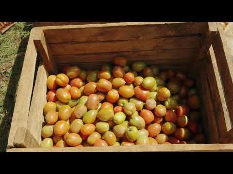 Shamba Shape Up Sn 07 - Ep 13 Tomatoes, Certified Seeds, Con