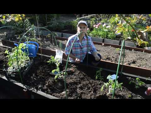 Вопрос: С чем высаживать помидоры?