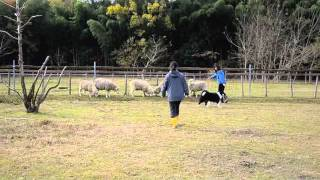 ボーダーコリーのみくちゃんが羊追い体験をしてきました 兵庫県福知山市...