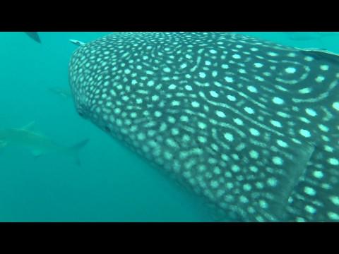 ฉลามวาฬ ที่ อ่าวไทย