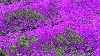 Delosperma cooperi - Iceplant