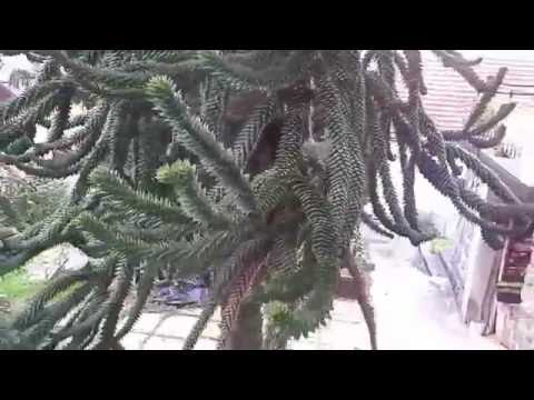 Čilska jelka (Araucaria araucana), Rogaška Slatina