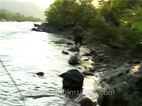 Finding Mahseer - Queen of the river; Kabini and Cauvery basin
