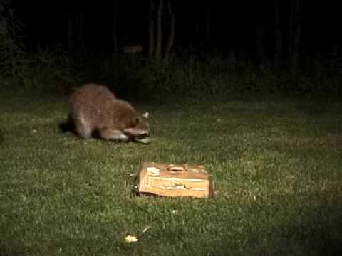 Captivating Raccoon On The Move! [Backyard Bag Feeder Project]