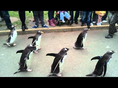 Penguin Parade - Edinburgh Zoo
