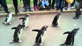 Penguin Parade - Edinburgh Zoo