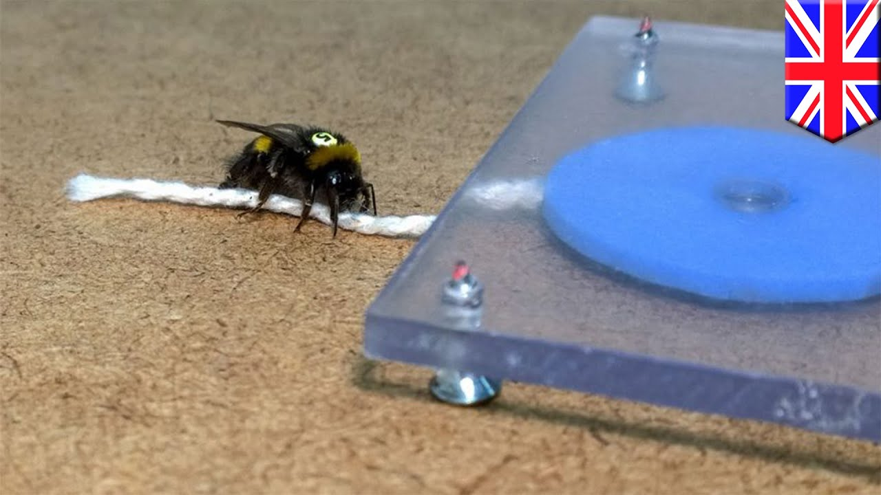 What Could Scientists Learn About >> Bees string experiment: scientists prove bumblebees can learn and share tool-use skills ...