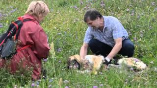 Лапус. Немецкая овчарка в добрые руки