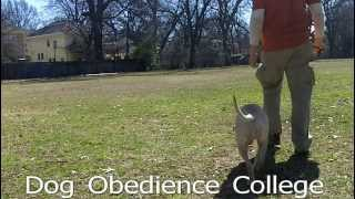 Maggie Dog Training Practice Dog Obedience College Memphis