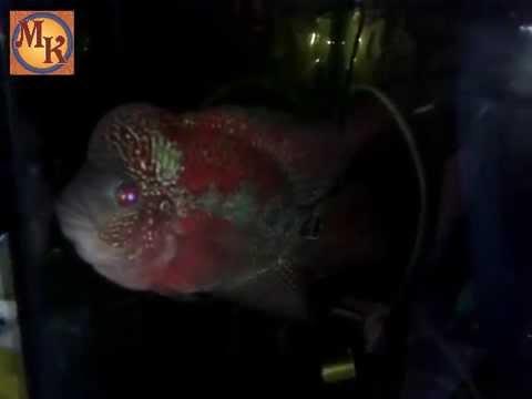 keindahan ikan louhan dengan benjolannya atau jenongnya