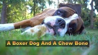 A Boxer Dog And A Chew Bone