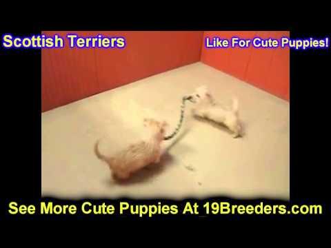 Scottish Terrier, Puppies, For, Sale, In, Philadelphia, Pennsylvania, PA, Borough, State, Erie, York