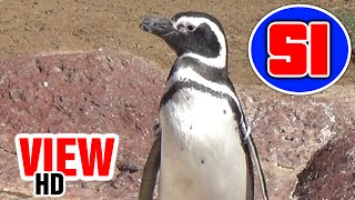 Penguin Encounter (HD View 2014) - SeaWorld San Diego