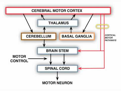 Anatomy motor exam upper motor neuron lesion youtube What is lower motor neuron disease