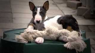 Mini Bull Terriers puppies From Friar